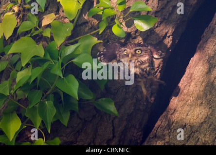 Little Owl (Athene noctua) leaving nest cavity and flying towards camera - Stock Photo