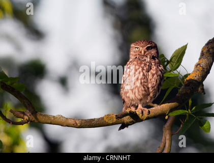 Little Owl (Athene noctua) perched on tree branch - Stock Photo
