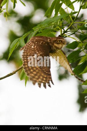 Little Owl (Athene noctua) in flight - Stock Photo