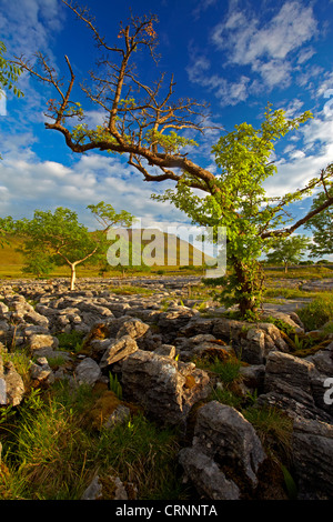 Ingleborough, one of Yorkshire's famous three peaks, seen from the limestone pavement of Southerscales Nature Reserve. - Stock Photo