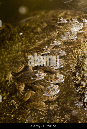 Lowland Leopard Frog (Rana yavapaiensis) adults, group lined up at edge of stream to catch prey, Sonoran Desert, - Stock Photo