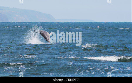 Bottlenose Dolphin leaping for Salmon at Chanonry Point, Scotland - Stock Photo