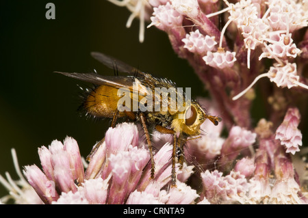 Tachinid Fly (Tachina fera) adult, on Hemp Agrimony (Eupatorium cannabinum) flowers, Staverton Lakes, Suffolk, England, - Stock Photo