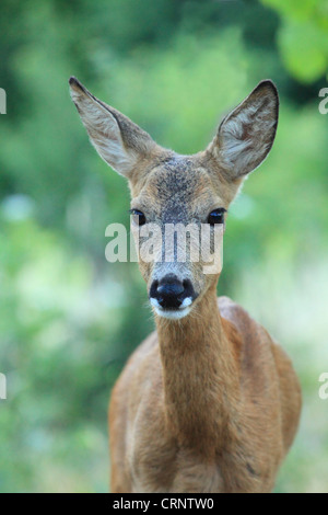 European Roe Deer (Capreolus capreolus) doe. Location: Male Karpaty, Slovakia. - Stock Photo
