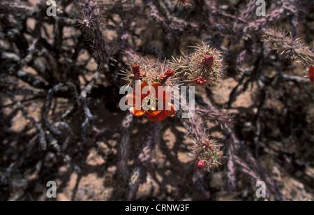 Buckhorn Cholla (Opuntia acanthocarpa) Flower - Arizona - Stock Photo