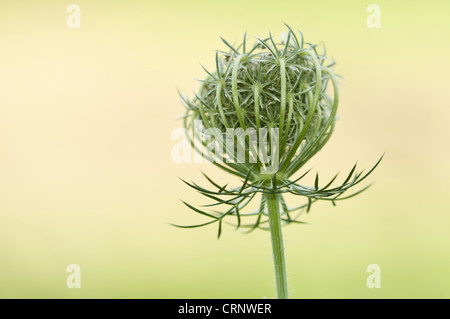 Wild Carrot (Daucus carota) close-up of seedhead, growing in wildflower meadow, near Downe, Kent, England, august - Stock Photo