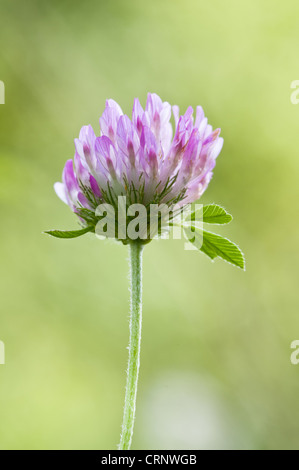 Red Clover (Trifolium pratense) close-up of flowerhead, Downe Bank Nature Reserve, North Downs, Kent, England, august - Stock Photo