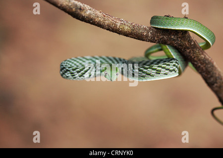 COMMON VINE SNAKE Ahaetulla nasuta  Mildly Venomous, Common