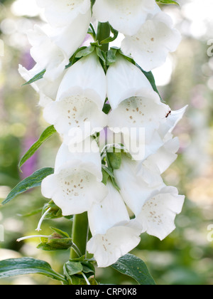 A white Foxglove flower spike ( Digitalis purpurea - Stock Photo