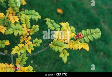 Japanese Pepper Tree (Zanthoxylum piperitum) close-up of leaves and fruit - Stock Photo