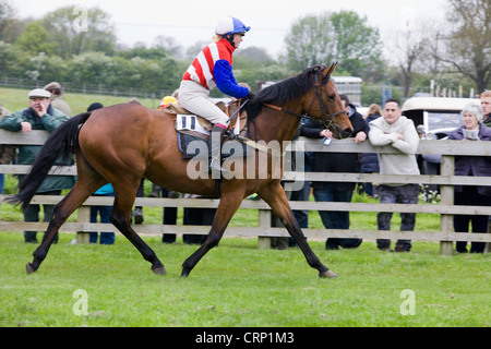 Horse and Jockey returning to paddock and cooling down after a steeplechase in England - Stock Photo