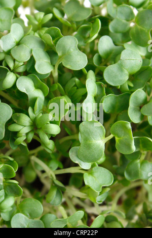 A close up of water cress