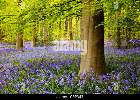 A carpet of bluebells in West Woods near Marlborough. - Stock Photo