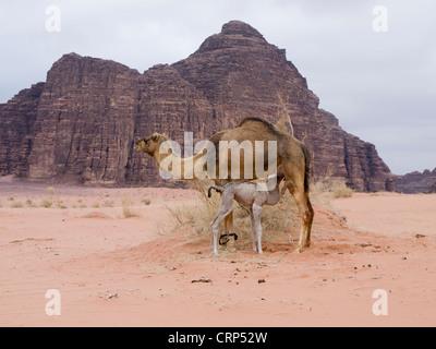 Suckling camel in the Wadi Rum desert in Jordan - Stock Photo