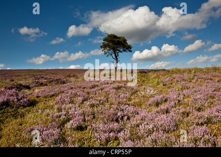 A lone Pine on Commondale Moor in the North York Moors National Park. - Stock Photo