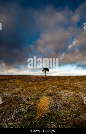 A lone Pine tree on the North York Moors in Winter. - Stock Photo