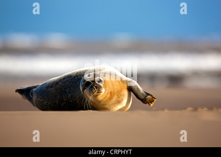 North Atlantic Grey Seal (Halichoerus grypus) on a sandflat at the Donna Nook Nature Reserve. - Stock Photo