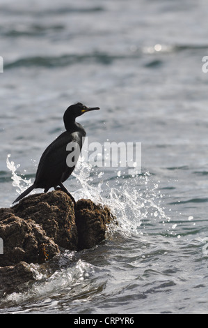 Shag, Phalacrocorax aristotelis - Stock Photo