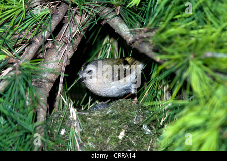 Goldcrest ( Regulus regulus. ) - Stock Photo