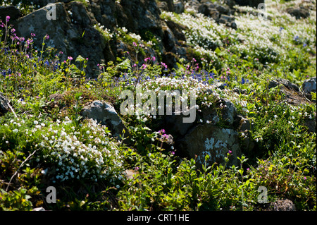 Sea Campion and other wildflowers, Skomer, South Wales, United Kingdom - Stock Photo