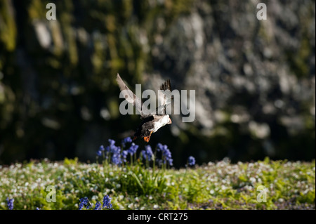Puffin, Fratercula arctica, in flight, Skomer, South Wales, United Kingdom - Stock Photo
