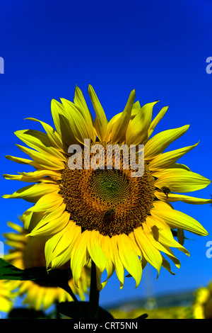 Sunflower with bees in Bulgaria - Stock Photo