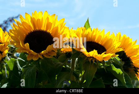 sunflowers with blue sky - Stock Photo