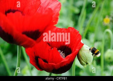 Bumble Bee flying towards poppy flower - Stock Photo