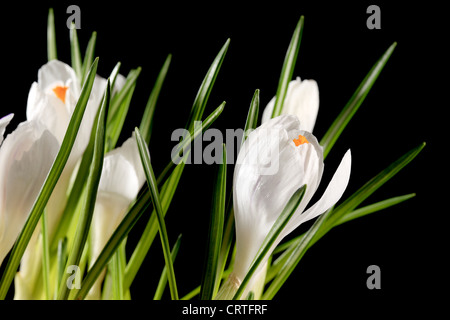 Growth of white crocuses on the black background (crocus jenne D'Arc) - Stock Photo