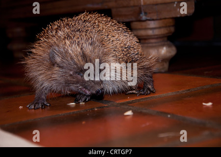 European Hedgehog (Erinaceus europaeus) - Stock Photo