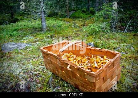 Basket of wild growing golden Chanterelles picked in the Swedish forest - Stock Photo