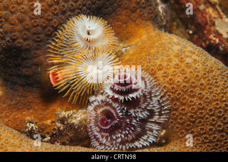 Christmas tree worms and star coral in the Caribbean sea around Bonaire, Netherlands Antilles. - Stock Photo