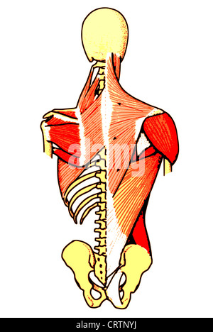 back muscles - Stock Photo