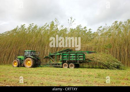 Harvesting Willow Coppice Plantation with 'The Stemster' near Carlisle, Cumbria, England, United Kingdom, UK, Briton, - Stock Photo