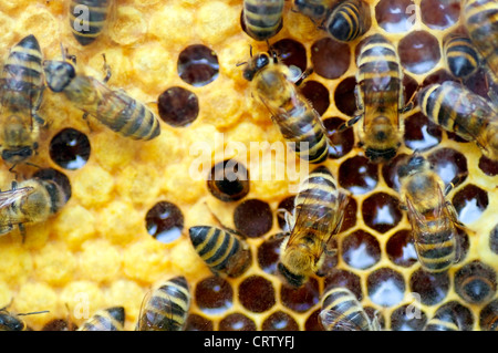 Bees filling honeycombs with honey in their Beehive - Stock Photo