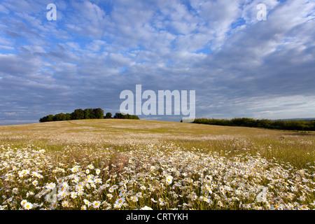 Field of Common Oxeye Daisies Gog Magog Hills Cambridge, England, UK - Stock Photo
