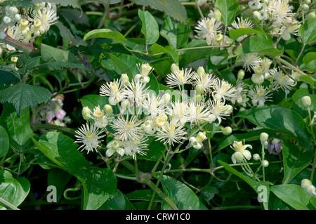 TRAVELLER'S-JOY Clematis vitalba (Ranunculaceae) - Stock Photo