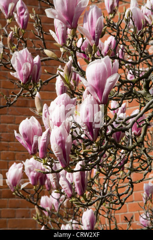 Magnolia Tree Blossom flowers against red brick wall - Stock Photo