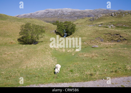 Sutherland Scotland May Ewe and two lambs walking towards small waterfall flowing down hill side - Stock Photo