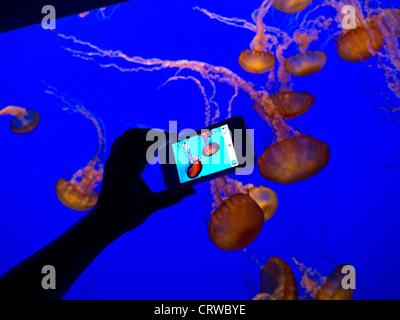 Hand holding Apple iPhone 4s smartphone recording image of JellyFish in Monterey  Bay Aquarium Monterey California - Stock Photo
