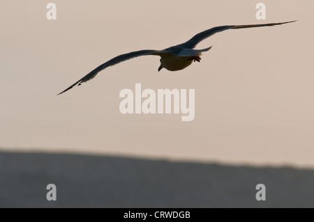 European Herring Gull (Larus argentatus) - Stock Photo