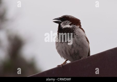 House Sparrow (Passer domesticus) sitting on rooftop - Stock Photo
