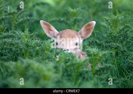 Young Fallow Deer, Dama dama hiding in thistles - Stock Photo