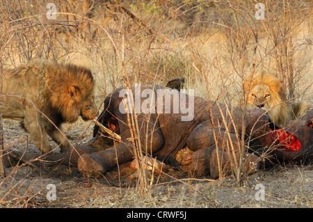 Male lion eating a killed elephant - Stock Photo