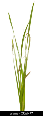 green leaf calamus with inflorescence on white background - Stock Photo