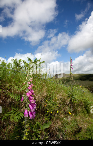 Wild Foxgloves growing out of a dry stone wall on Dartmoor, Devon, UK - Stock Photo
