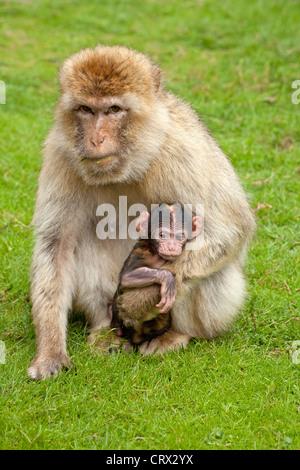 Barbary macaque (Macaca sylvanus) with cub, Serengeti Park, Hodenhagen, Lower Saxony, Germany - Stock Photo