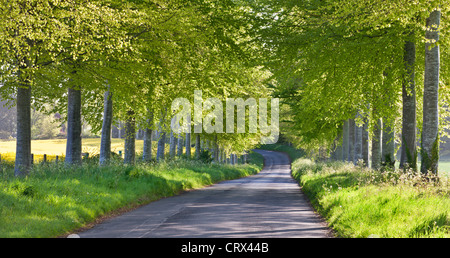Beech tree lined country lane in rural Dorset, England. Spring (May) 2012. - Stock Photo
