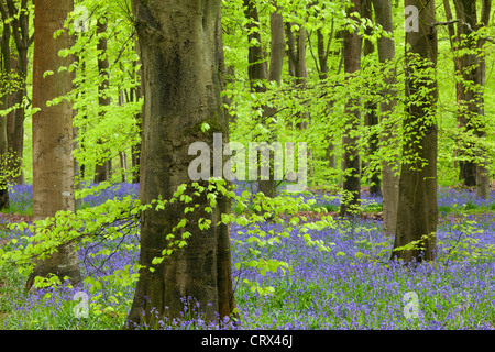 Bluebell carpet in a beech woodland, West Woods, Lockeridge, Wiltshire, England. Spring (May) 2012. - Stock Photo