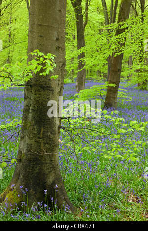 Bluebell carpet in a beech woodland, West Woods, Wiltshire, England. Spring (May) 2012. - Stock Photo